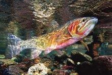 MT magic trout